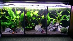 10 gallon tank, divided in 3 parts, good betta tank, live plants