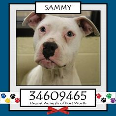 TO BE DESTROYED 04/24/17 ***REASON: MEDICAL*** SAMMY - 2 years old - Pit Bull Terrier Mix - 34609465 - Possibly Deaf, Upper Respiratory Infection, Injured Leg - #34609465 - FOR MORE PICS, VIDEOS & INFO: http://www.dogsindanger.com/dog/1487541208602