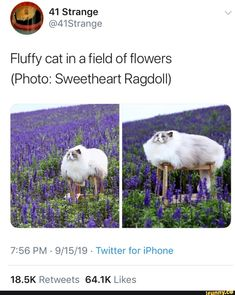 I would love to have a cat like that except a beige or tan color and I would name him aslan flowers beige Picture memes 1 comment — iFunny Funny Animal Memes, Cute Funny Animals, Cute Baby Animals, Cat Memes, Funny Cute, Cute Cats, Funny Memes, Videos Funny, Haha