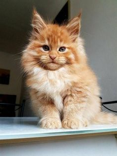 Maine Coon Cat purrcatstinating:Maine coon kitten More cats! purrcatstinating: Maine coon kitten More cats! Cute Cats And Kittens, Baby Cats, Kittens Cutest, Cutest Cats Ever, Baby Zoo, Pretty Cats, Beautiful Cats, Cute Baby Animals, Animals And Pets