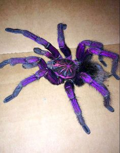 Shockingly Gorgeous Brazilian Pinkbloom TARANTULA (Pamphobeteus platyomma)