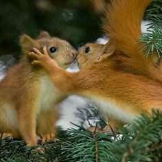 THE KISS squirrels