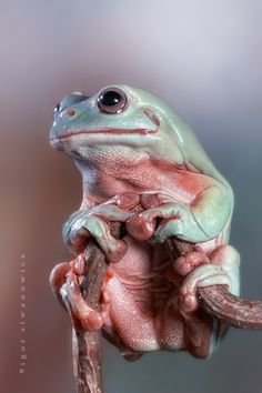 Australian Tree Frog.  What a great photo. Awesome.