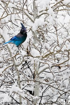 Steller's Jay discovered by Georg Steller in 1741. The most misspelled name in bird watching?  It looks stellar, but  is spelled Steller, There are possibly 16 varieties of Blue Jay's.. [Loosely from TheCornellLab of Ornithology All About Bids]  Very pretty in the snow!