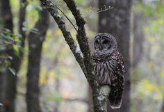 The Barred Owl. Love this incredible bird. Audubon South Carolina: Master Naturalists Visit