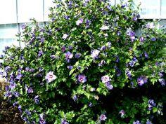 hibiscus Blue Bird - Google Search