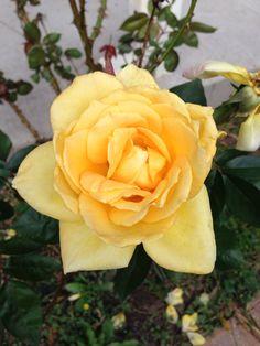Yellow Rose in Louisiana/photo by Linda Guy Phillips