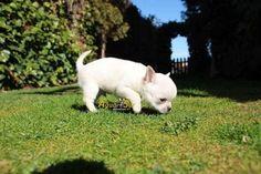 chihuahuas-cachorros (2) #chihuahua