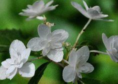 Hydrangea serrata ssp. angustata 'Shiro Fuji' syn. 'Shirahuzi'