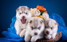 Nette Welpen, Huskys, Korb, Rosenblüten Hintergrundbilder Vorschau