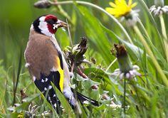 Door de bontgekleurde kop en geel-zwarte vleugels is de putter een onmiskenbare vogel.