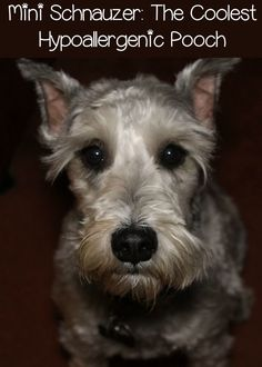 The Mini Schnauzer: My All-Time Favorite Hypoallergenic Dog: Find out what makes the charming miniature schnauzer my all-time favorite hypoallergenic dog and see if this is the right small dog breed for you and your family! Small Dog Breeds, Small Breed, Cat Breeds, Small Dogs, Miniature Schnauzer Puppies, Schnauzer Puppy, Schnauzers, Hypoallergenic Dog Breed, Wire Fox Terrier