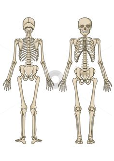Human Skeleton Stencil Life-Size   Human Skeleton Template