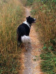 Adventures of Border Collies in the Burbs: A Summer Morning Walk - Bunnies, Birds and Blackberries for Breakfast