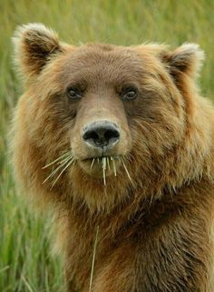 A close up portrait of a grizzly bear feeding on sedge in the valley Animals And Pets, Funny Animals, Cute Animals, Wild Animals, Baby Animals, Ours Grizzly, Grizzly Bears, Animal Close Up, Love Bear
