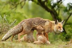 Motherly Love - Vixen suckling fox her fox kits by RoeselienRaimond