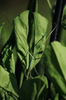 Peas - Part 7 of the Kitchen Garden article by Laara