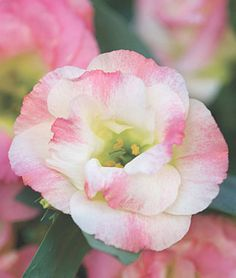 Pink Champagne Lisianthus Seeds and Plants, Annual Flower Garden at Burpee.com