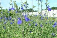 SALVIA microphylla 'Blue Monrovia' (BA7) ↕ 80 cm ↔ 50 cm. Petites feuilles vert tendre, fleurs bleu azur de juin à octobre. Zone USDA 8a(-12°C)