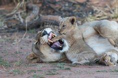 Der ultimative Reiseführer: Südafrika | Kapstadt | Krüger Nationalpark | Reisezeit Südafrika | Must-sees | Unterkunft Rhino Africa, Safari, Panther, Lion, Animals, Snorkeling, Viajes, Leo, Animales