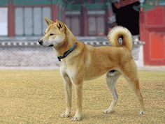 Korea's Most Beloved Dog - Korean Jindo: a pecularity of this hunting spitz-type dog is that it does not assist the hunter, but goes hunting on its own, always carrying his quarry home. If the game is to heavy for him to carry, it will remember the spot and go fetch his master. Another amazing trait of this breed is his incredible homing ability, meaning that it always finds his way back home even over very long distances.
