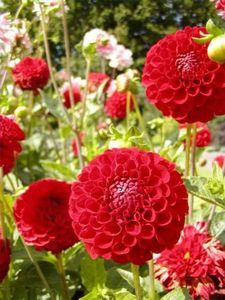 How to Grow Zinnia Flowers