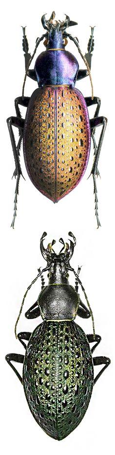 Coptolabrus formosus nilii, Coptolabrus formosus elytraviridis