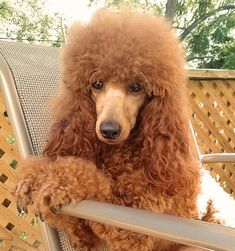 Red Miniature Poodle Breeders & Puppies in NC - Marjo Poodles Retriever Puppy, Dogs Golden Retriever, Poodle Cuts, Tea Cup Poodle, Choosing A Dog, Bulldog Breeds, Poodle Grooming, Dog Life, Best Dogs