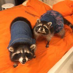Два модных енота желают вам отличного дня ✌️ Two fashion raccoon wish you a great day ✌️ #енотикФью #енотикФанни #фанни #фьюри #fury #funny #енотполоскун #енотик #енот #еноты #petsagram #pet #petraccoon #raccoon #raccoons #raccoonofinstagram #cute #animal #petsofinstagram
