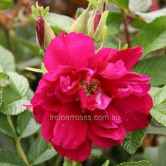 Freycinet (Prorug) rose - Rugosa. Tasmanian bred rugosa produces fragrant purple double blooms ending with large red hips. Hardy and disease resistant. 2m. Treloar Roses.