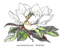 White magnolia flower in leaves blossom. Hand drawn decorative watercolor tropical plant on white background. Botanical illustration for wedding print card invitation design. Japanese, vintage style.