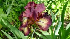 Iris in a garden at Villa le Barone.