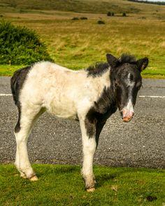 Tiny Hooves on Dartmoor Pony Foal by Sallye Wilkinson / 500px