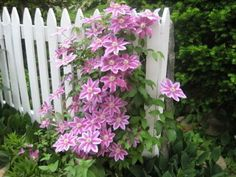 pink clematis on a white picket fence