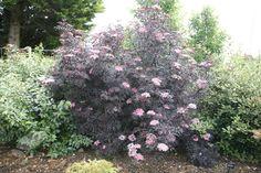 Buy black elder (syn. Black Lace) Sambucus nigra f. 'porphyrophylla 'Eva'': Delivery by Crocus