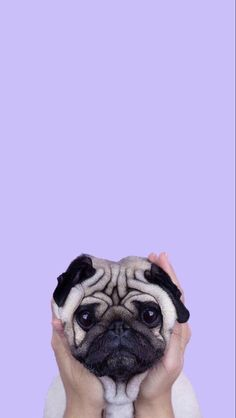 Awwwww pugs are sooo cute. I love ❤️ them!