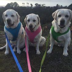 Bernie, Sophie, and Ben are always ready to go for a walk! #zendogs3labs #dogs #dogsofinstagram #puppies #dogfriendly #dog #dogzenergy #cute #animals #pets #adorable #friend #fun #whitelab #labrador #dogogram #instapuppy #puppiesofinstagram #lajolla #winter