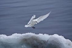 Ivory gulls - Michael S. Nolan/Age fotostock/Getty Images