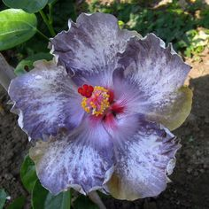Risultati immagini per White Diamonds Hibiscus Hibiscus Bush, Growing Hibiscus, Hibiscus Plant, Hibiscus Flowers, Tropical Flowers, Purple Flowers, Bali Garden, Lilies Of The Field, Flower Photos