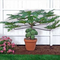 papaya - Easy to grow