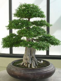 Favorite Bonsai Tree Ideas For Your Garden 20 Bonsai Acer, Maple Bonsai, Bonsai Plants, Bonsai Garden, Garden Trees, Trees To Plant, Bonsai Trees, Ikebana, Indoor Bonsai Tree