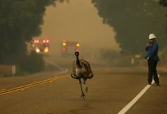 An emu runs to escape an approaching wildfire as it burns near Potrero, California, on June 20.