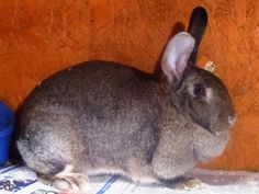Dorothy, female looking for a new home at Fairly Beloved Rabbit Care.
