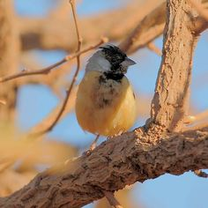 CHARITOSPIZA EUCOSMA The crested monterite, also known as cinnamon ore or afrechero, is a species of passerine bird of the family Thraupidae, classified by some in the family Emberizidae, that is in Argentina, Bolivia and Brazil