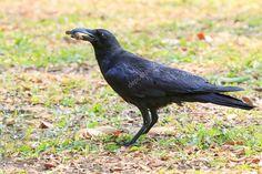 Imagini pentru varjú madár képek