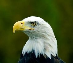 Bald Eagel