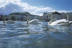 Seekulisse: Gmunden und seine Schwäne