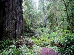 Jedediah Smith Redwoods State Park, Crescent City, CA.  AKA Endor, home of the Ewoks.  I HAVE TO GO.