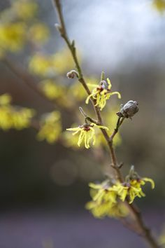"""Witch Hazel, Hamamelis: """"Faith Healer"""" Hamamelishas fragrance, as well as arresting looks. In the darkest months of winter, its colors and spicy scent cou"""