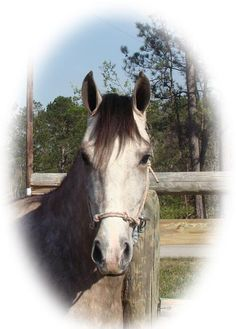 Tennessee Walking Horses - CLOUD 9 WALKERS (Tennessee Walking Horses and their new owners)